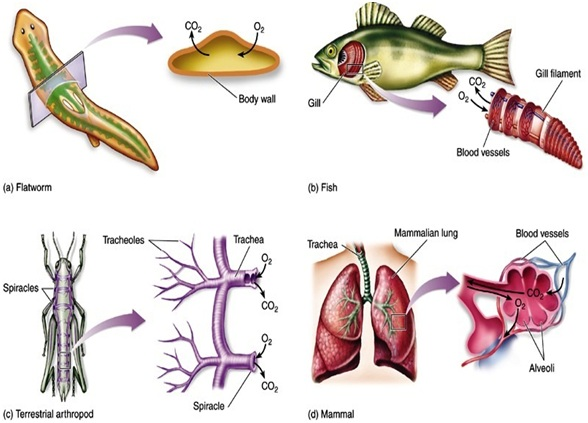 Breath clipart animal breathing. Respiration in animals therefore