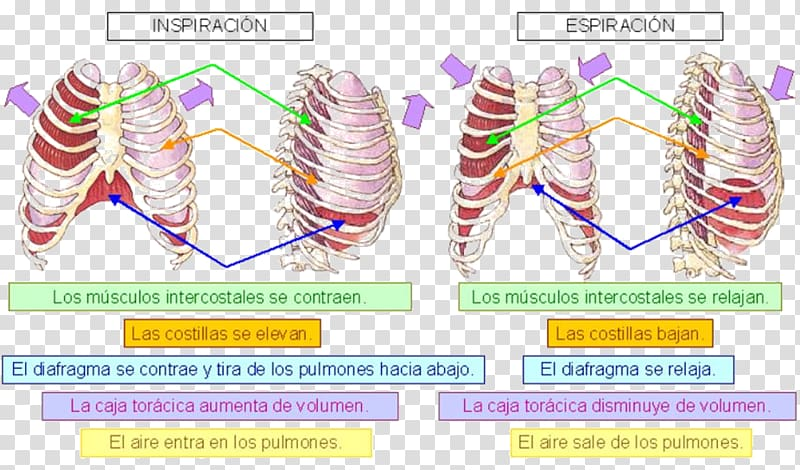 Breathing clipart exhalation. Respiratory system ventilaci n