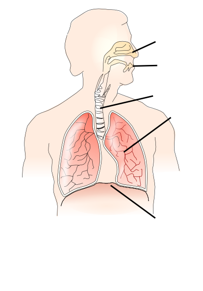 Breathing clipart human breathing. Unlabelled respiratory system clip