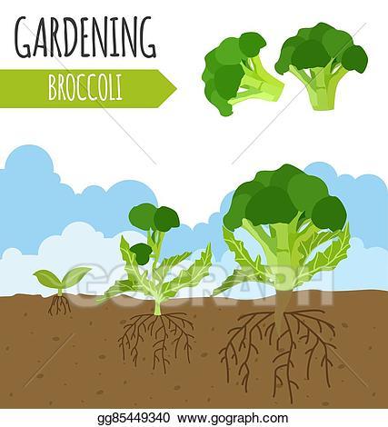 Broccoli clipart broccoli plant. Vector art garden growth