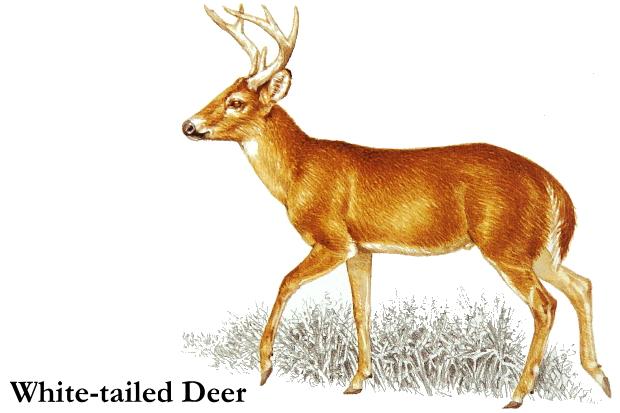 White tailed clip art. Deer clipart real deer