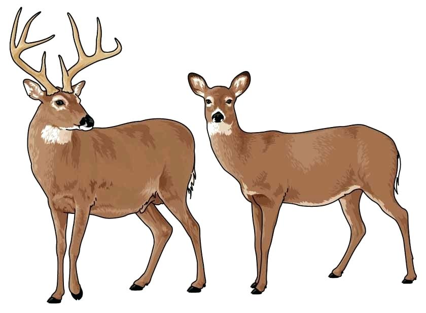 Deer clipart.  collection of whitetail