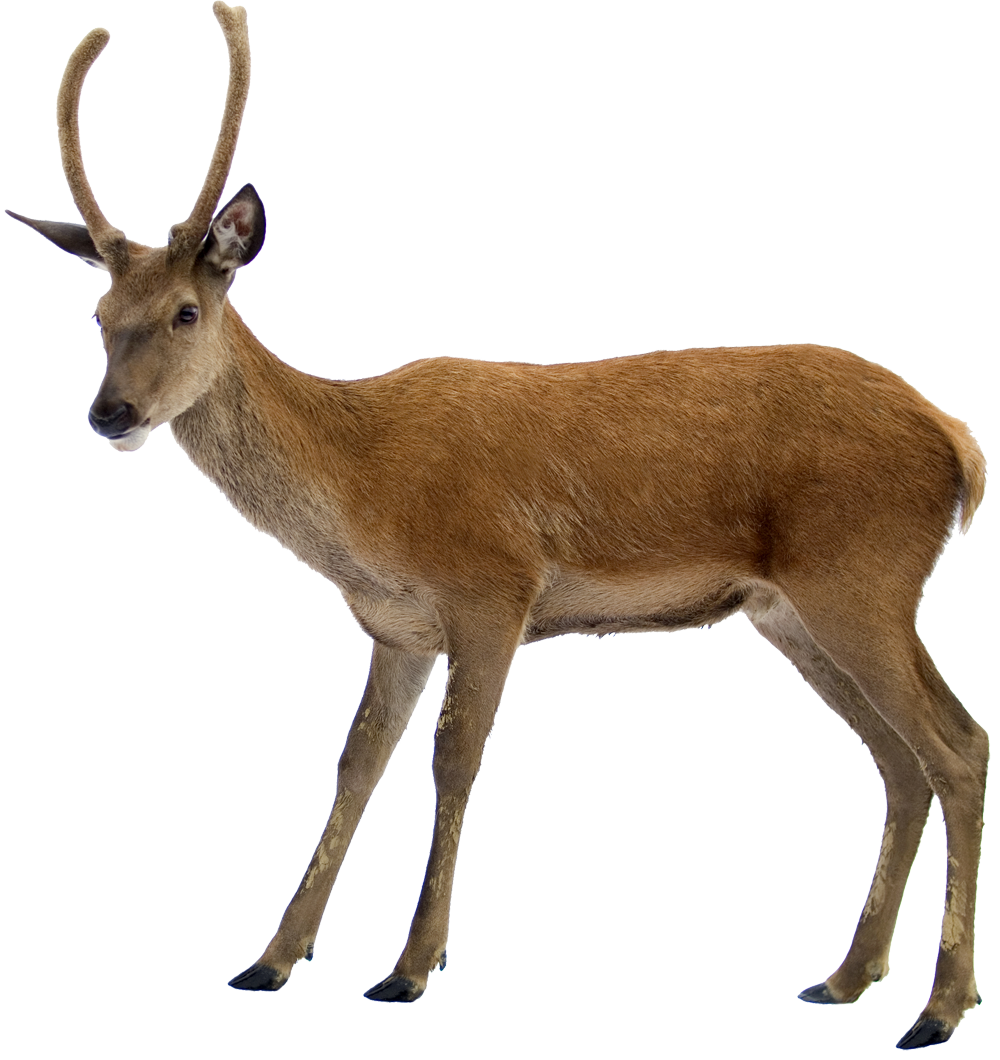 Deer clipart dear. Png images free download