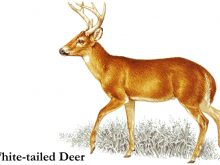 Buck clipart white tailed deer. Clip art graphics and