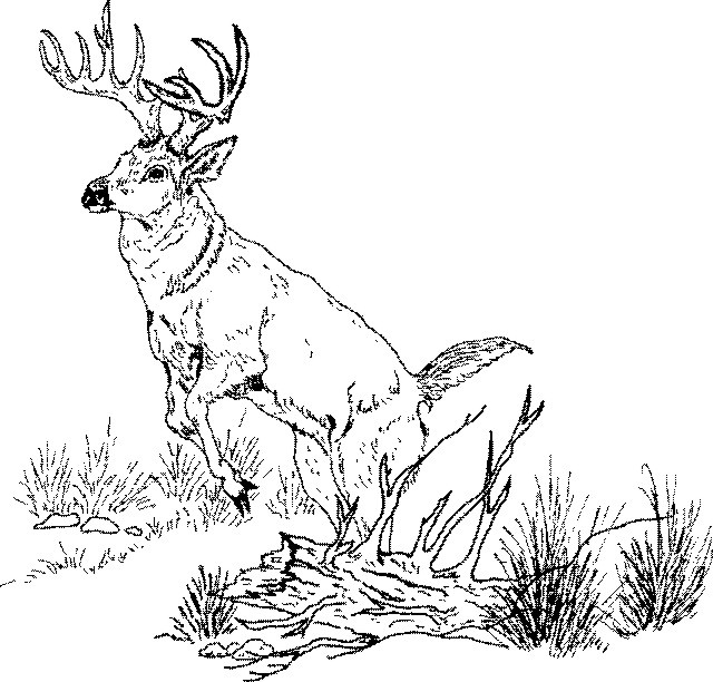 Tail drawing at getdrawings. Buck clipart white tailed deer