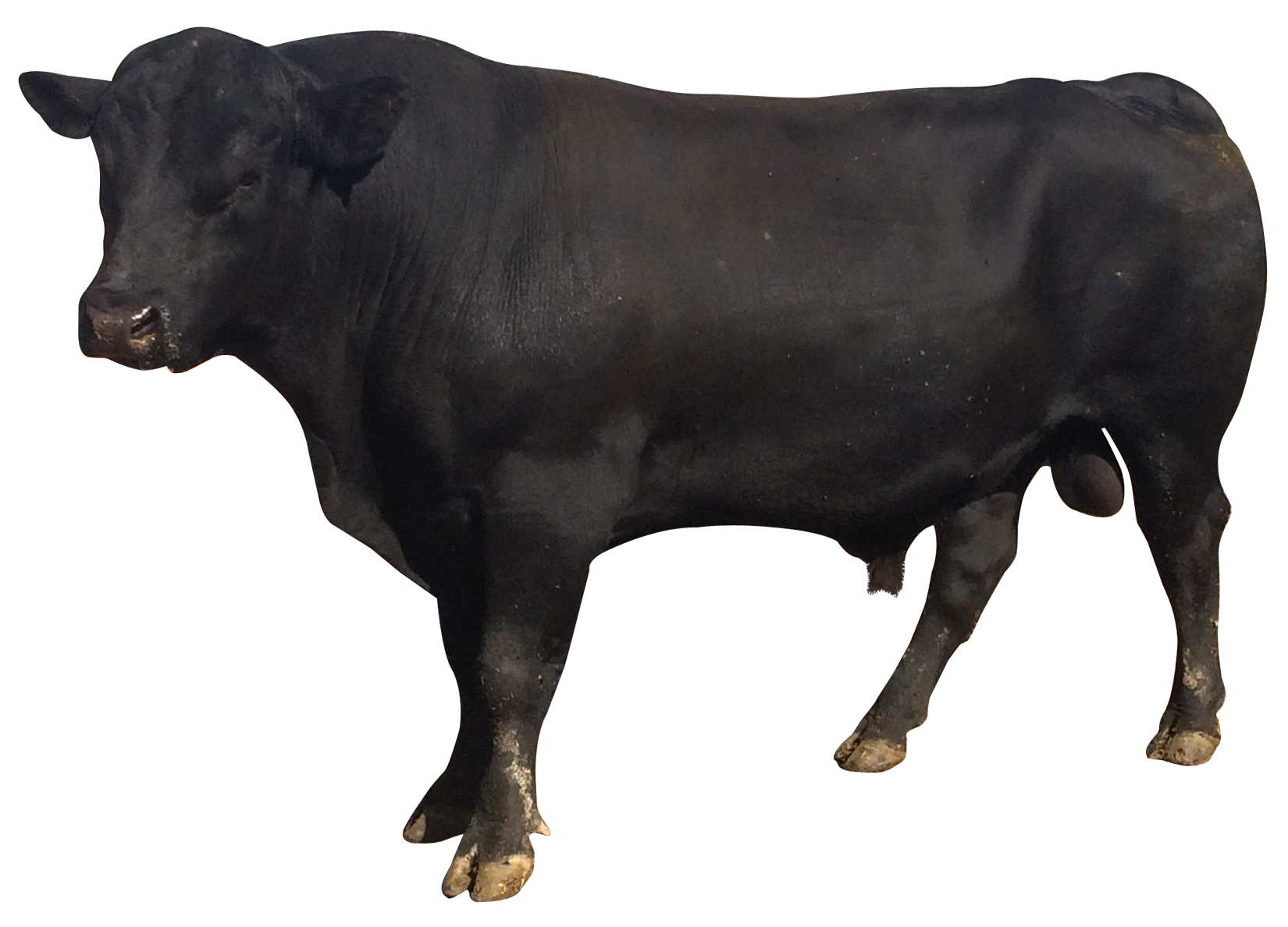 Png images pluspng bull. Buffalo clipart transparent