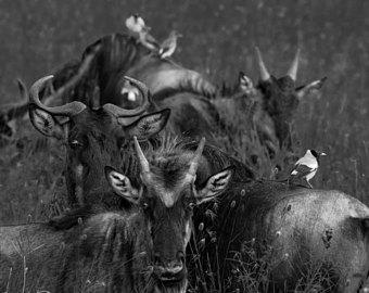 Art etsy photograph of. Buffalo clipart wildebeest