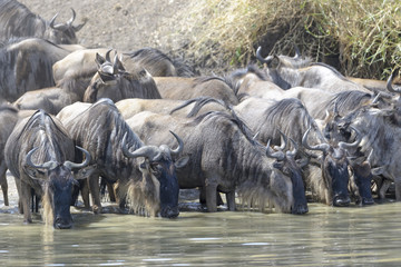 Search photos tz connochaetes. Buffalo clipart wildebeest
