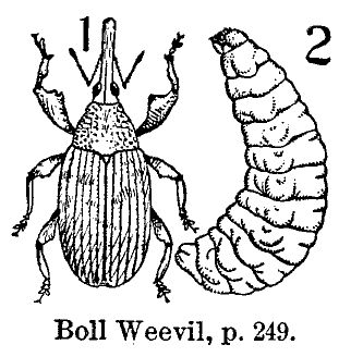 Bugs clipart boll weevil.  best images on