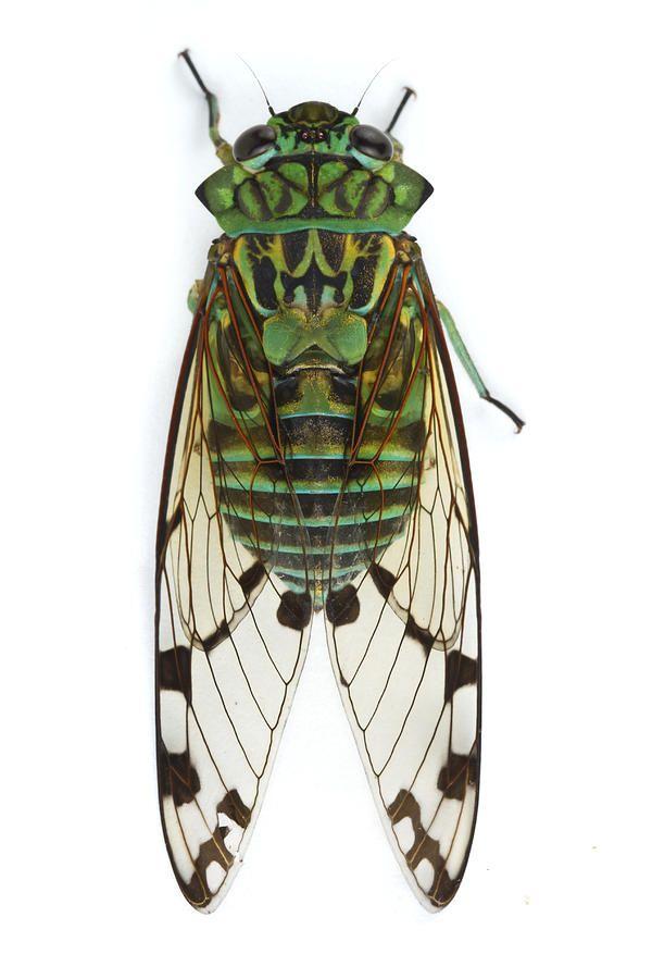 Bug clipart cicada. Piotr naskrecki emerald barbilla