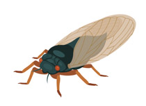 Bug clipart cicada. Free insect clip art