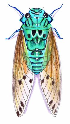 Interesting fact apparently the. Bug clipart cicada