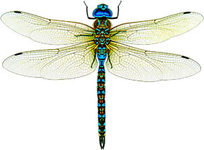 Free insect animations graphics. Bug clipart dragonfly
