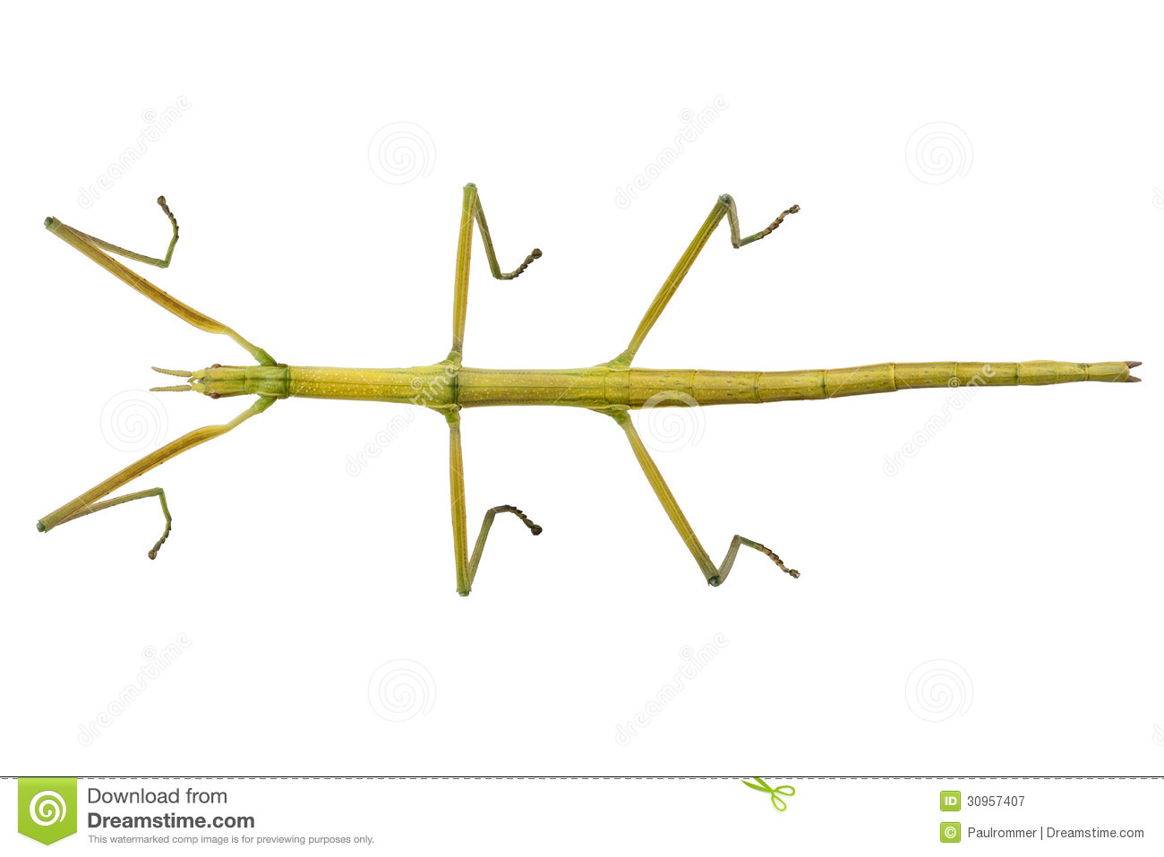 collection of insect. Bug clipart walking stick