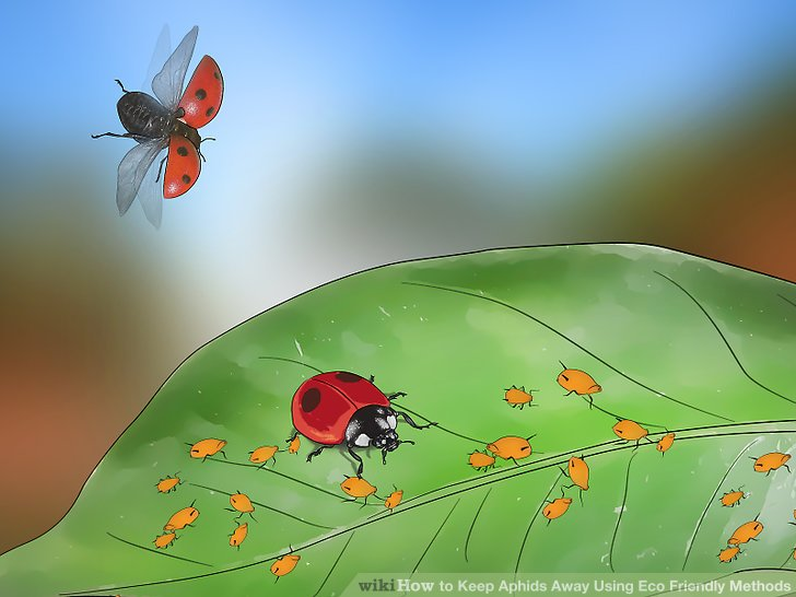 Bugs clipart aphid. How to keep aphids