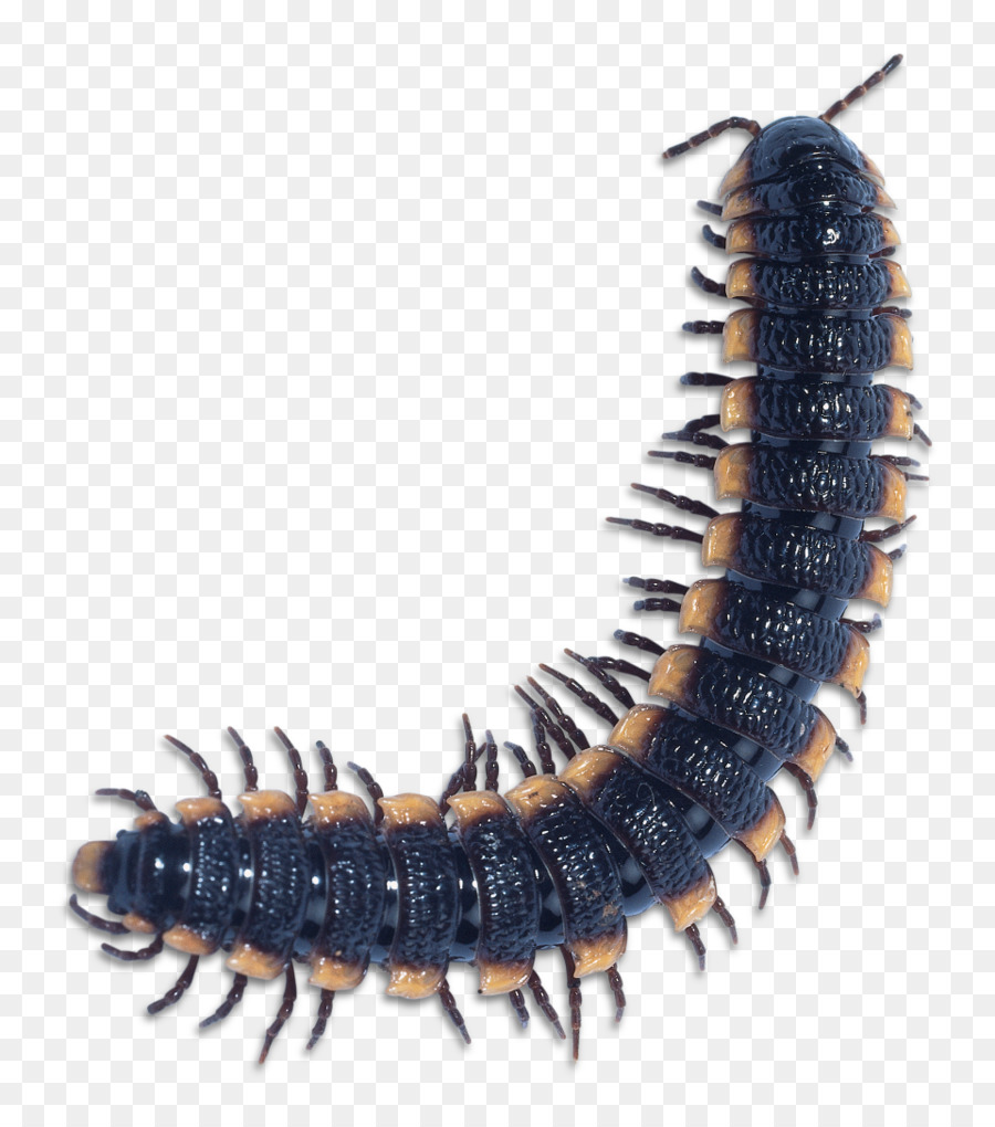 Bugs clipart centipede. Scolopendra gigantea centipedes millipede