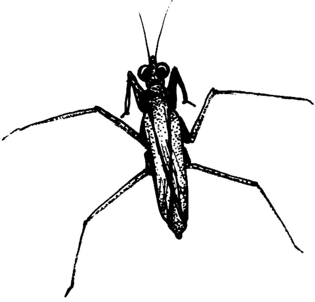 Bugs clipart water beetle. Waterstrider jpg download