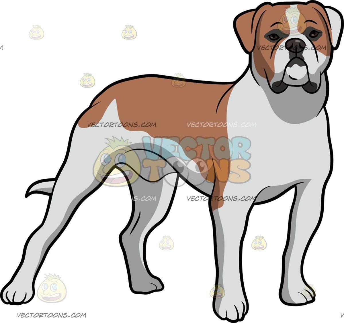 An staring ahead with. Bulldog clipart american bulldog