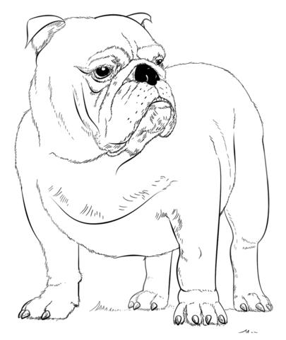 Bulldog clipart coloring page. English free printable pages