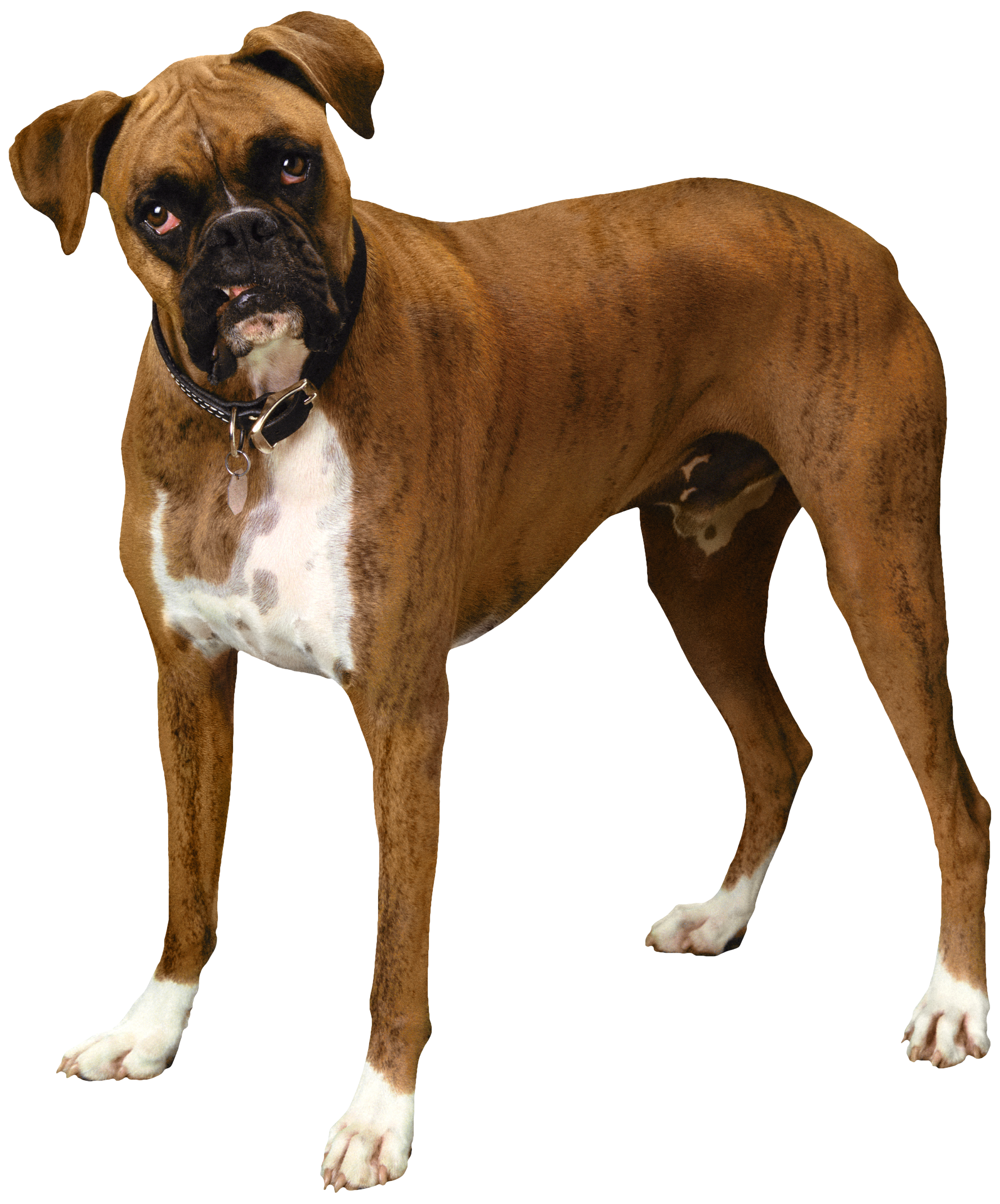 Clipart dog boxer. Brown bulldog png best