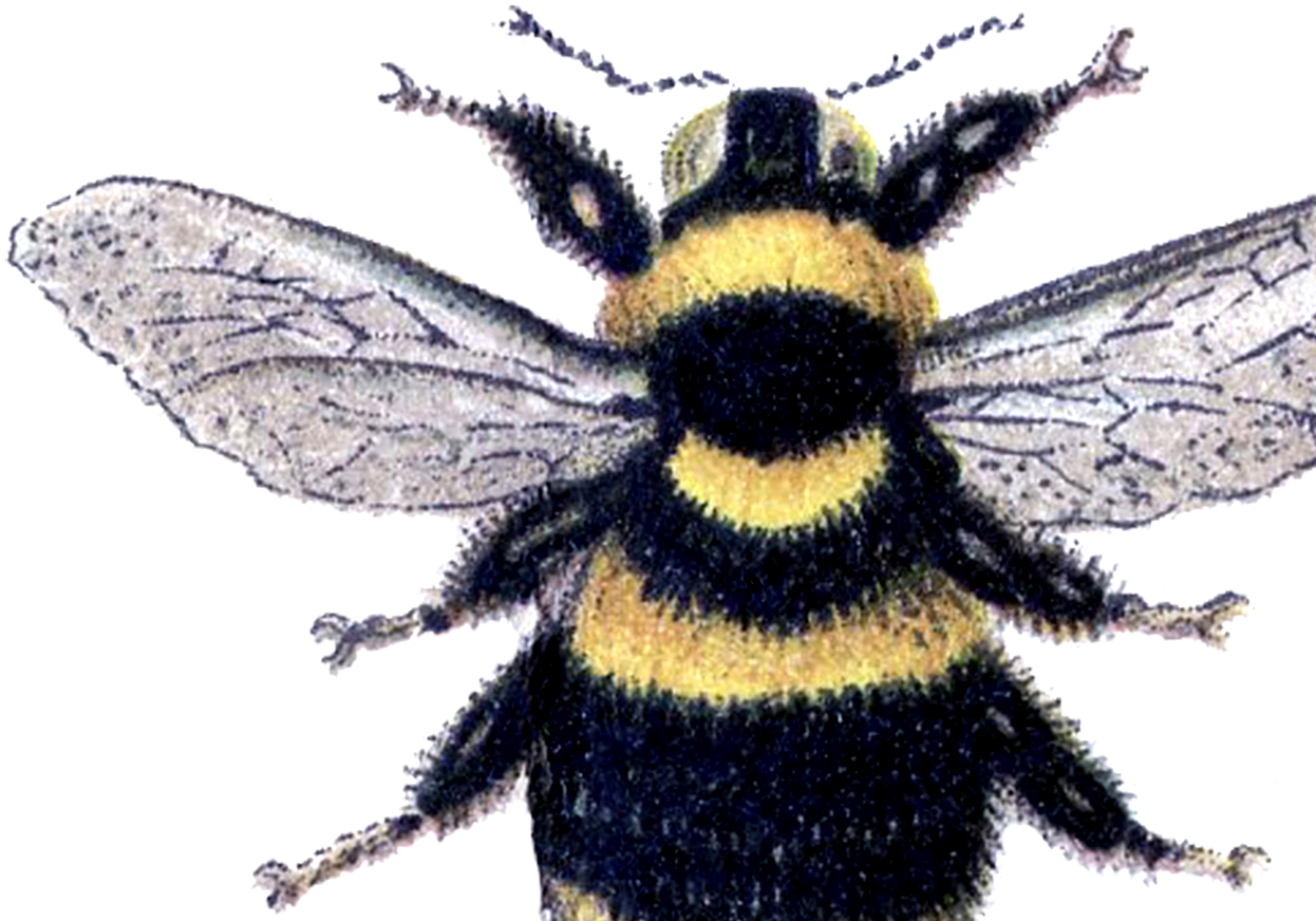 Bumblebee clipart bumblebee insect.  bee images honey