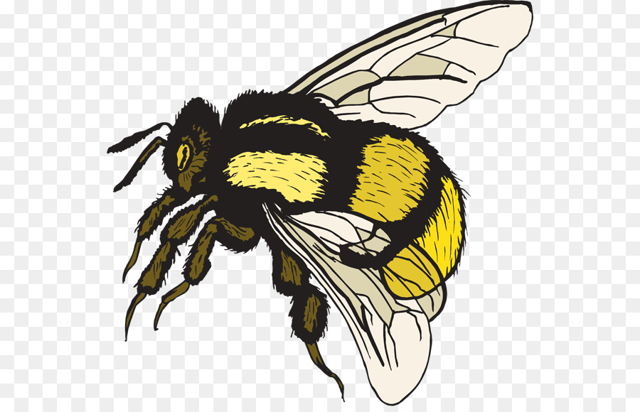 Bee cartoon drawing wing. Bumblebee clipart bumblebee insect