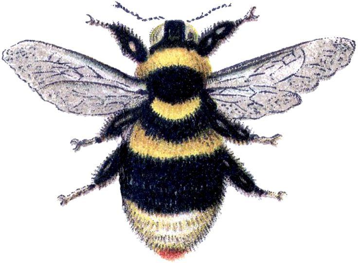Bumblebee clipart carpenter bee.  best bees images
