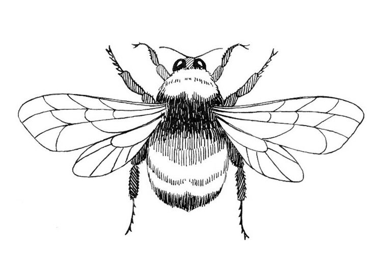 Bumblebee clipart outline. Bee drawing at getdrawings