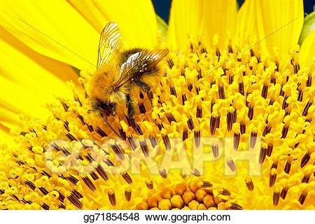 Clip art on a. Bumblebee clipart sunflower