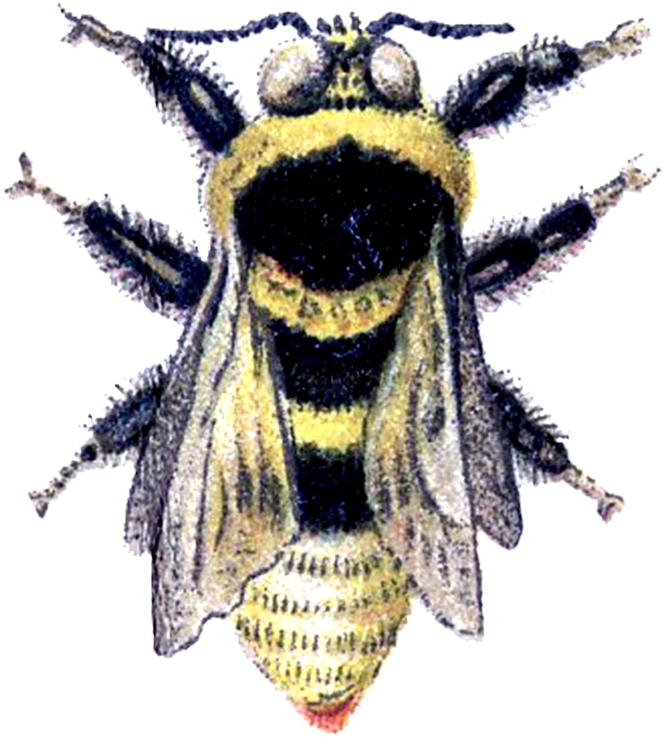 Bees clipart victorian. Wonderful vintage bumblebee image
