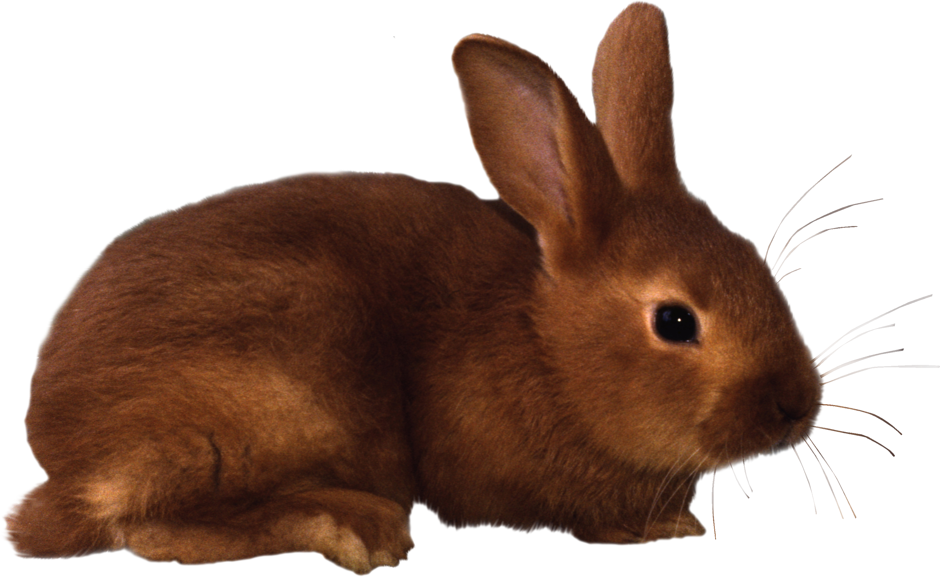 Rabbit png images free. Kittens clipart translucent