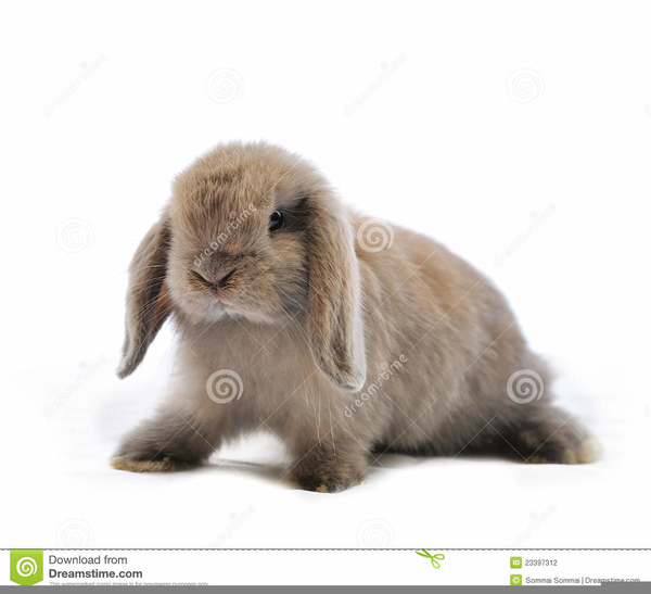 Rabbits free images at. Bunnies clipart mini lop