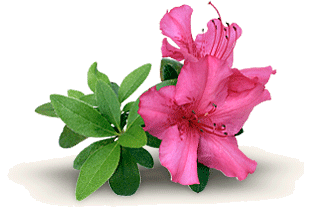Grower direct flowers and. Bushes clipart azalea