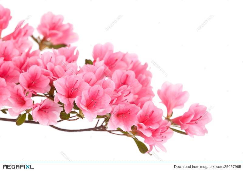 Bush clipart azalea. Pink flowers stock photo