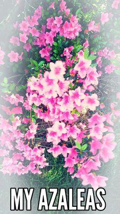 Bush clipart azalea. A my created pictures