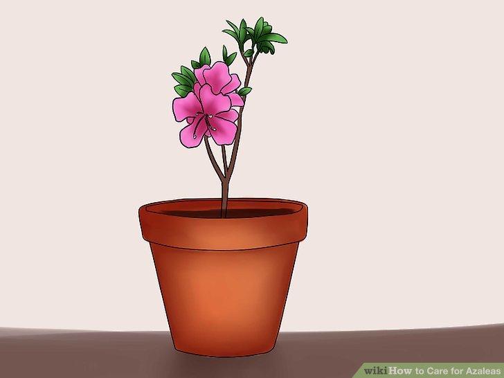 How to care for. Bush clipart azalea