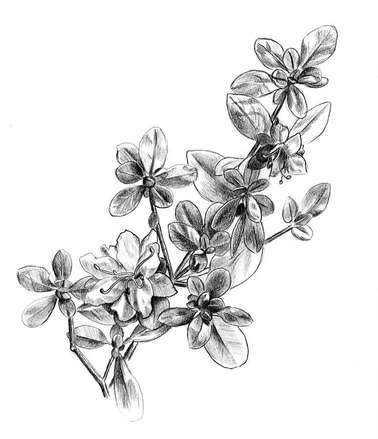 Study drawing by tim. Bush clipart azalea