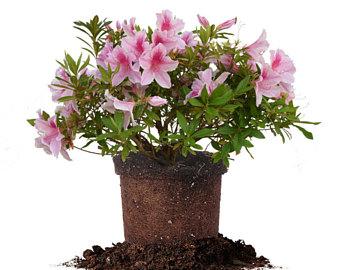 Flowers etsy george taber. Bush clipart azalea