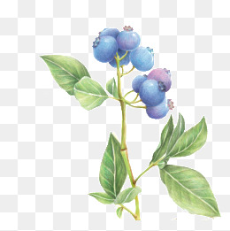 Png vectors psd and. Bush clipart blueberry