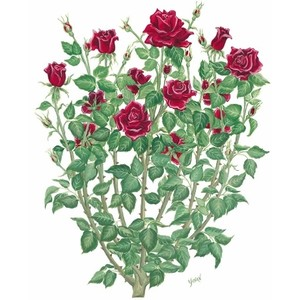 Bush red rose . Clipart roses shrub