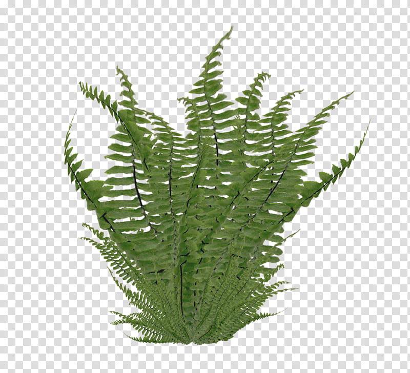 Ferns transparent background png. Bushes clipart fern