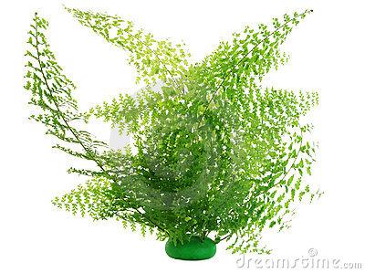 Bush fern