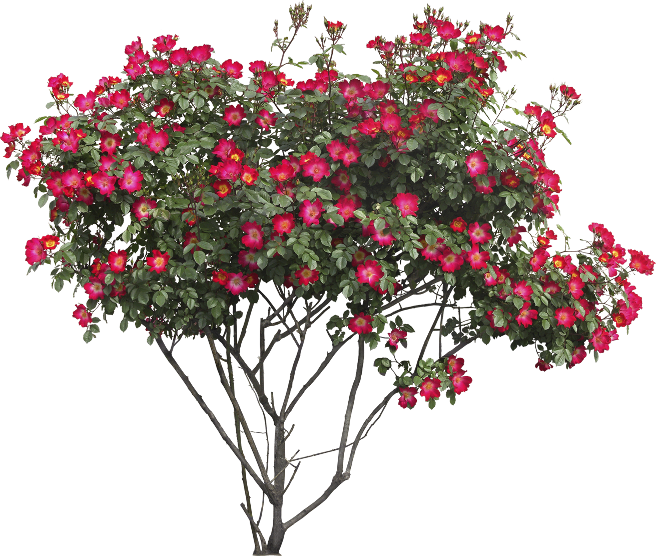 Rose clipart shrub. Bushes png images free