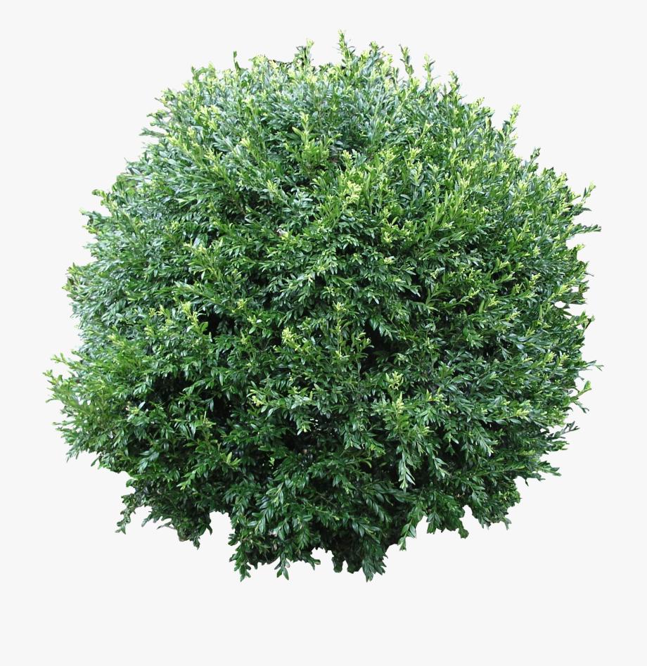 Shrub bushes australian png. Bush clipart plant
