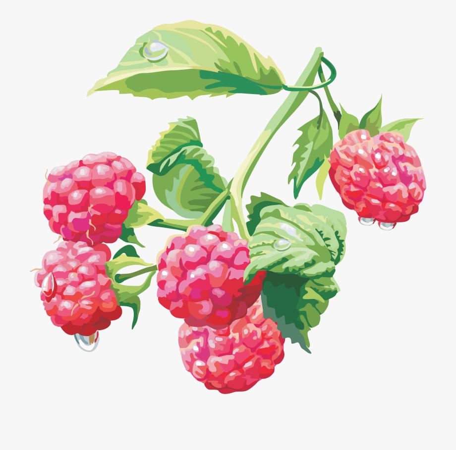 Bushes clipart raspberry. Rasberry png image bush