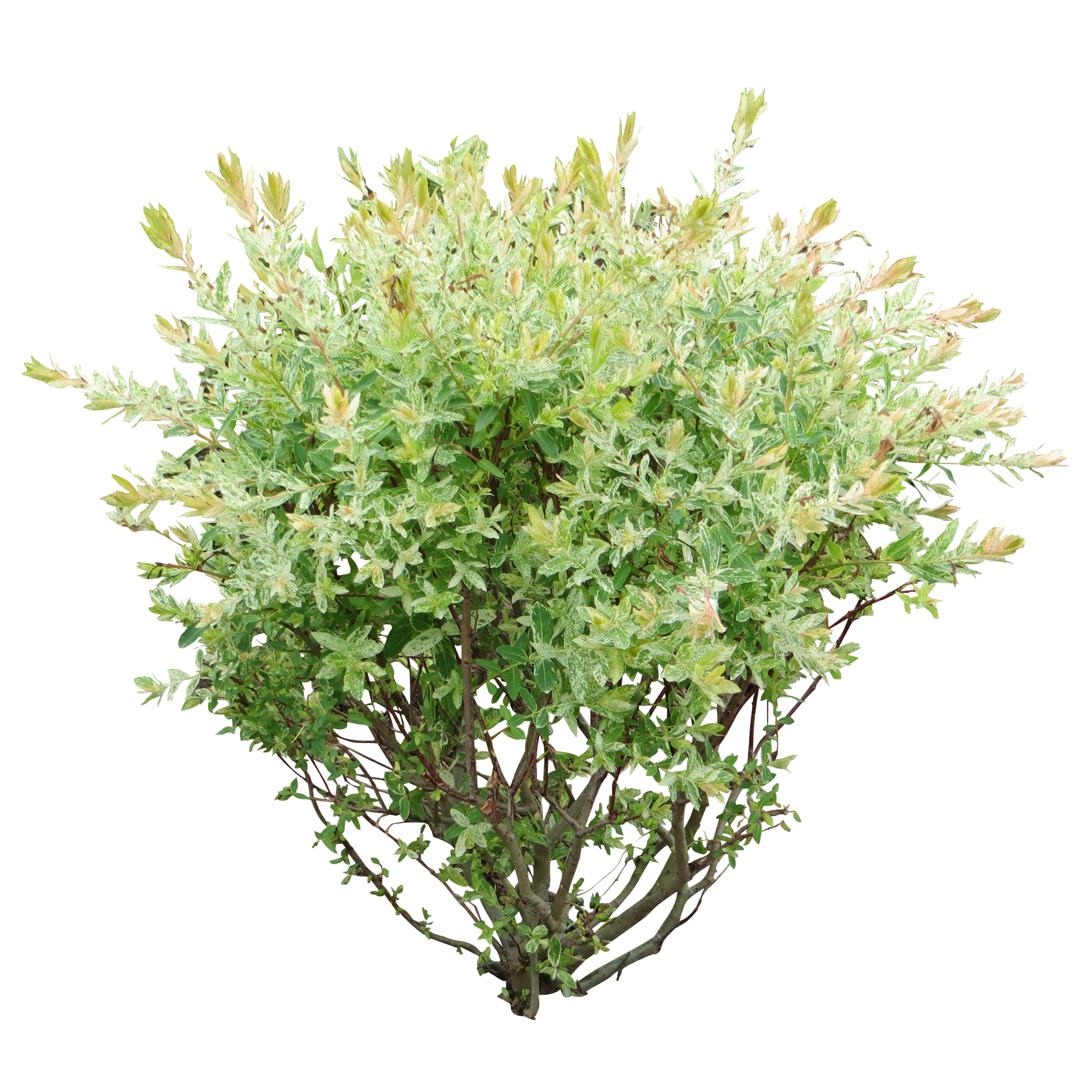 Bush clipart shrubbery. Png image