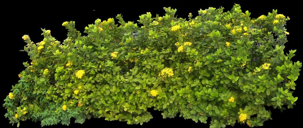 Flower bush png. Shrub clipart tree background