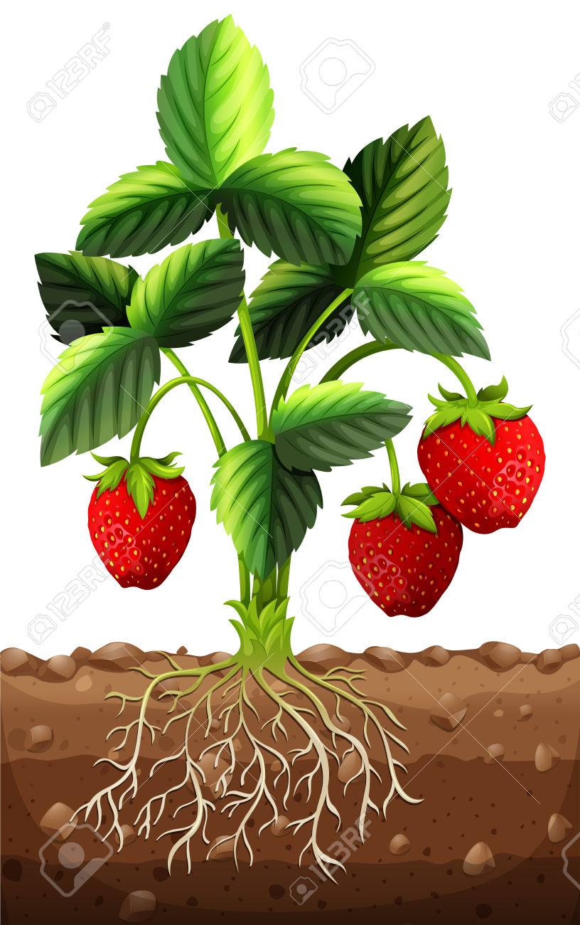 Plant drawing at getdrawings. Bush clipart strawberry