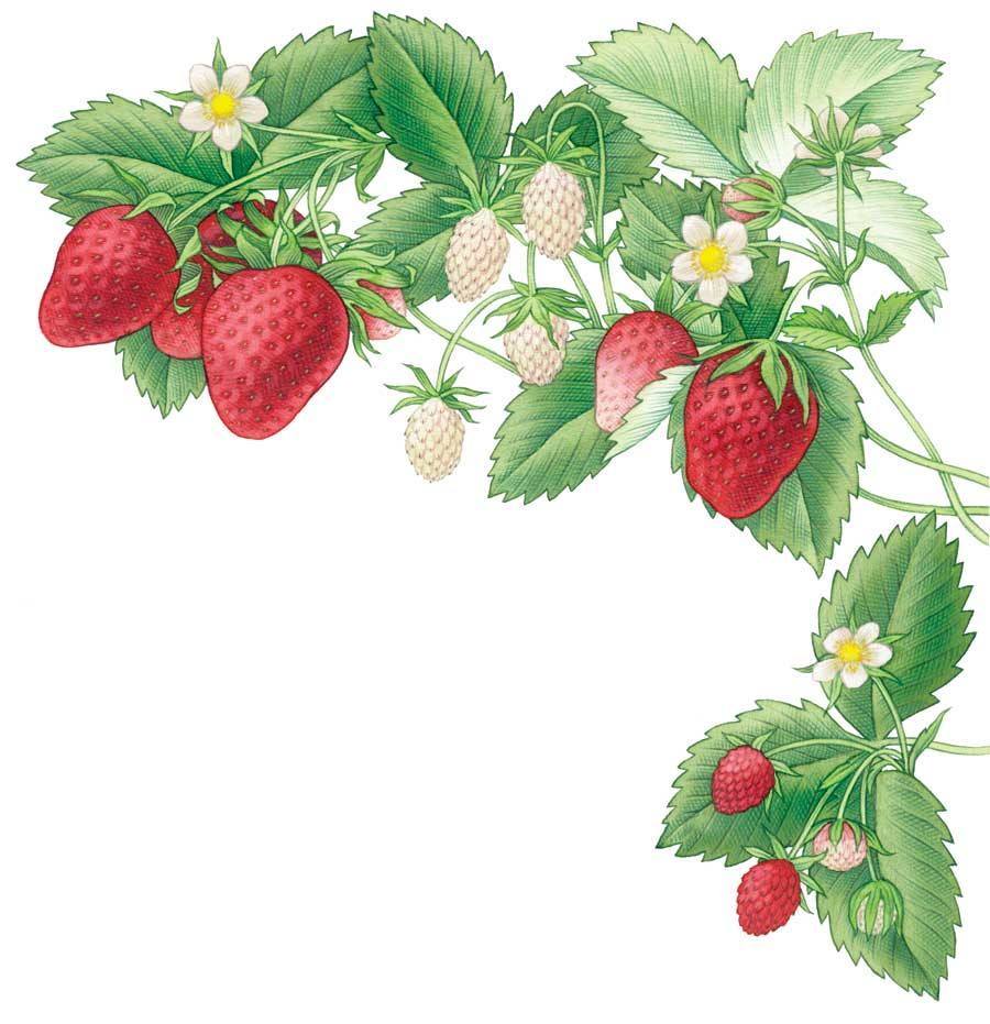 collection of drawing. Bush clipart strawberry