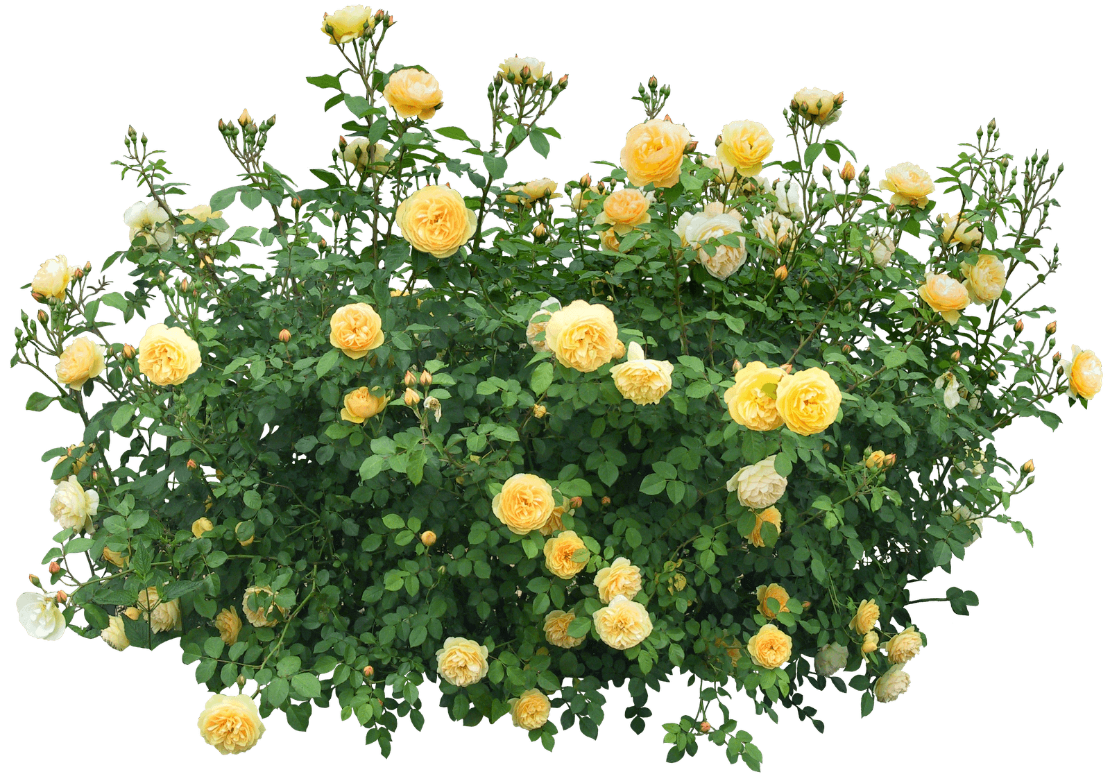 Yellow roses png stickpng. Bush clipart transparent background